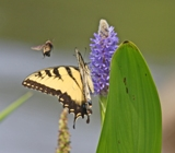 2190_bumble_bee-tiger_swallowtail__pickerel_weed